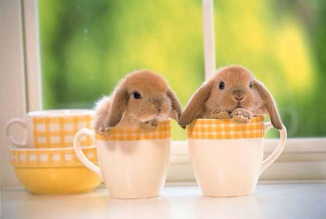 2 konijnen in theekopjes