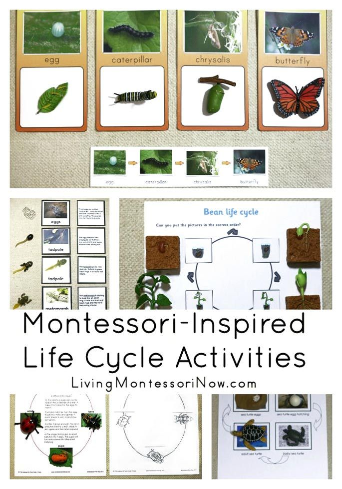 Hands-on life-cycle activities featuring a variety of plant and animal life cycles; Montessori-inspired life-cycle activities for home or classroom - Living Montessori Now #Montessori #homeschool #preschool #kindergarten #lifecycle #spring