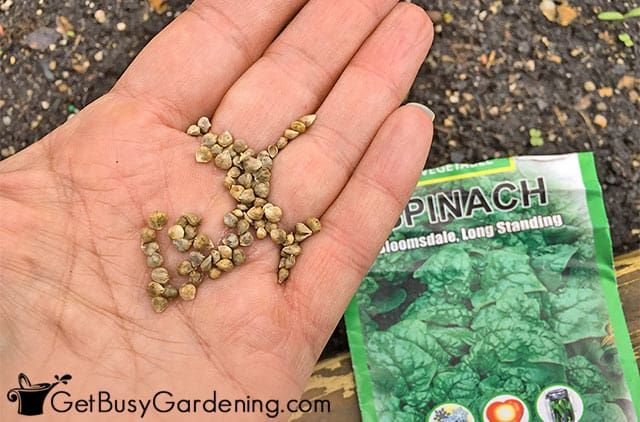 How To Grow Spinach From Seed The Complete Step By Step Guide Growing Spinach Spinach Seeds Planting Spinach