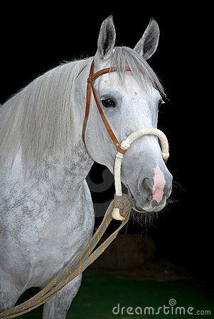 cavallo grigio - Cerca con Google