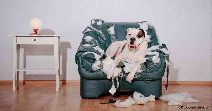 Reconoce el comportamiento común de un perro con ansiedad por separación y aprende cómo evitar este común pero grave problema en los perros. http://mascotas.mercola.com/sitios/mascotas/archivo/2015/12/15/problemas-de-ansiedad-por-separacion-en-perros.aspx
