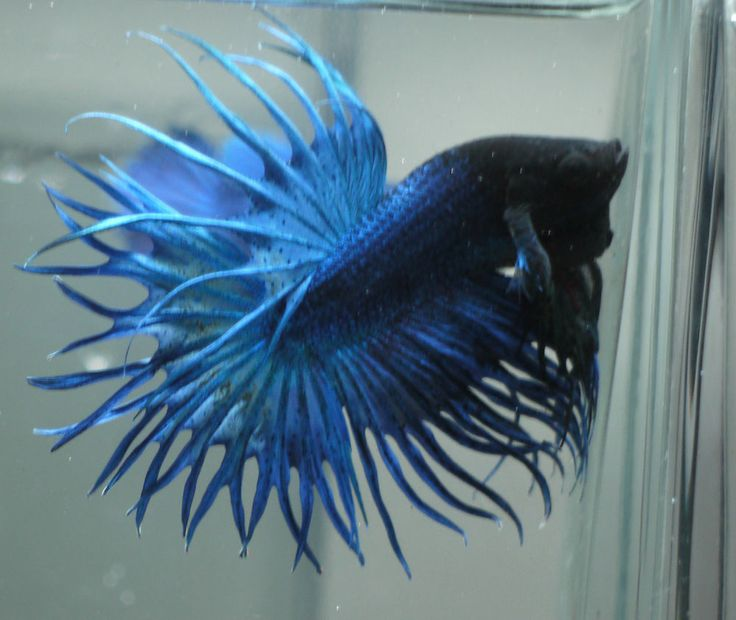 Live tropical fish blue double ray king crowntail betta for Betta fish water temp