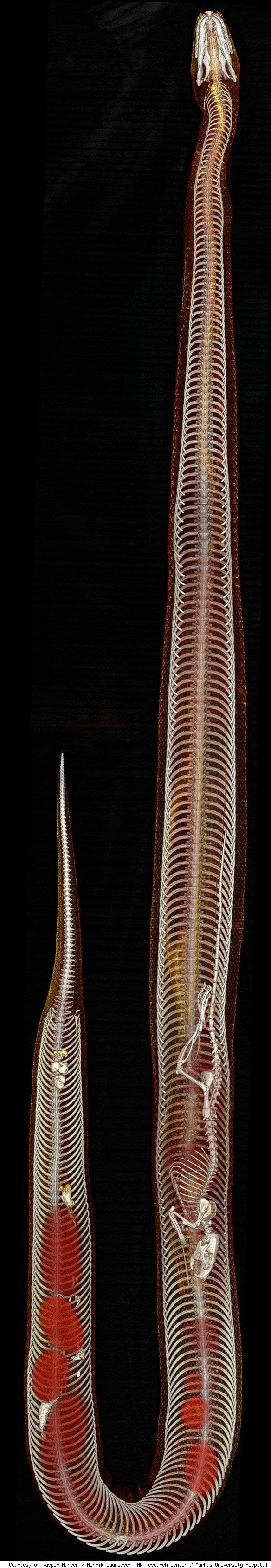 La digestion d'un rat par un serpent à l'IRM serpent digestion rat souris python 02 technologie photo featured