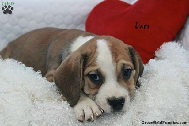 Evan Beabull Puppy For Sale In Ohio Puppies Beagle Puppy