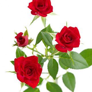 """マドンナ MADONNA  あこがれの女性に  明るい赤色のスプレーバラ。まわりのつぼみも全て開花する品種で、小さな赤い花が全部開くと、ぽんっぽんっと明るく心に灯がともるようです。""""MADONNA""""とはイタリア語で「我が淑女」の意味で、狭義では聖母マリアのことを言います。歌手やワインにもこの名前はありますが、このバラには、小説や映画などの主人公が崇拝し、あこがれるヒロインのイメージがぴったりです。"""
