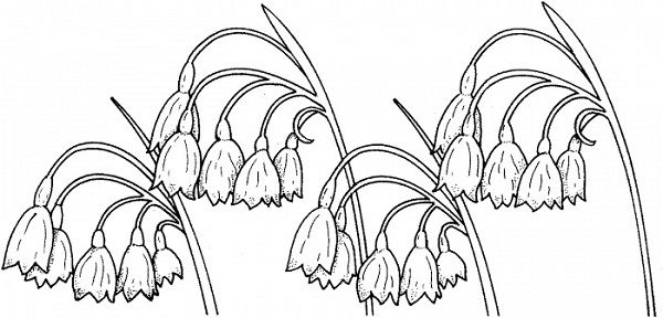 coloring pages lily of the valley | Lily of the valley ...