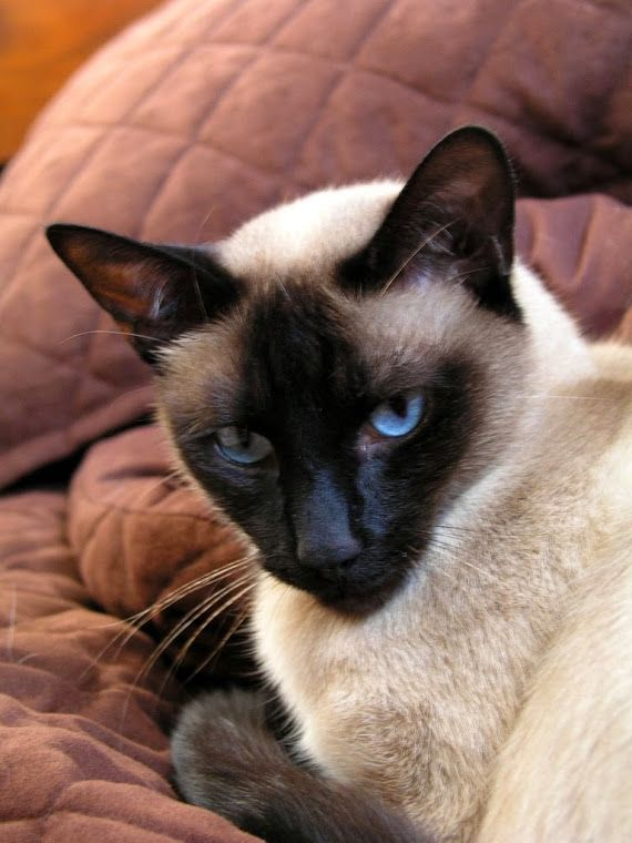 Siamese Cats Blue Point Cats Siamese Beauty In 2020 Siamese Cats Blue Point Siamese Cats Siamese Kittens