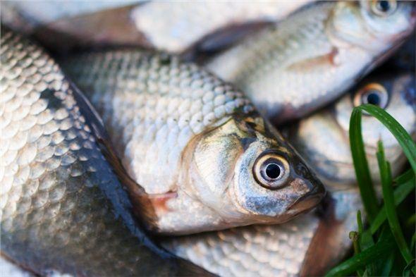 Yağlı balıklar: Balıkların en faydalı yeri olan omega-3, hücre zarını güçlendirir. Kalp hastalığı, hipertansiyon, depresyon, eklem ağrısı gibi rahatsızlıklara karşı korunmaya katkıda bulunur.