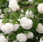 Gorgeous  snowball-like clusters of white blooms