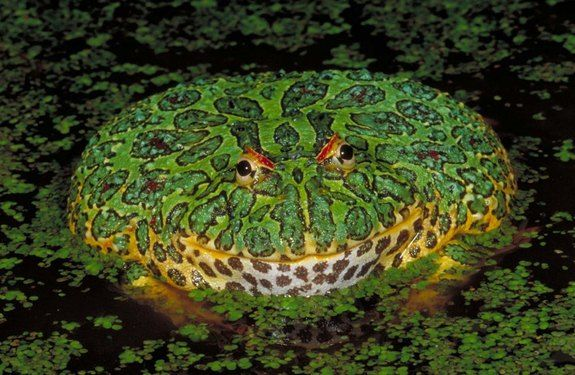 Ornate Horned Frogs live in the rainforests and pampas prairies of Uruguay, Brazil, and northern Argentina. Voracious eaters, horned frogs bury themselves in leaves or loose soil and pounce on small animals that blunder by. (Credit: © Joe McDonald, Clyde Peeling's Reptiland)