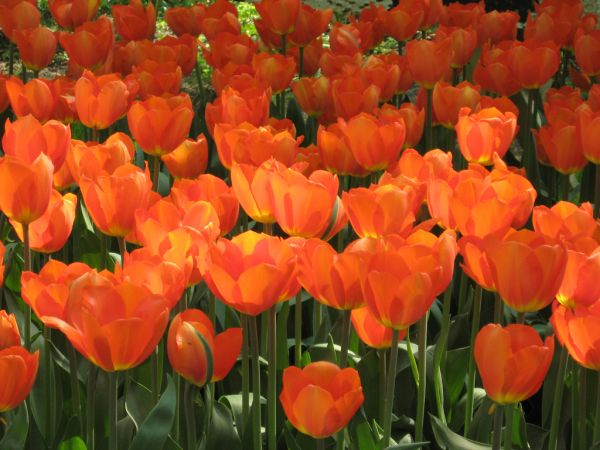 how to take care of tulip bulbs