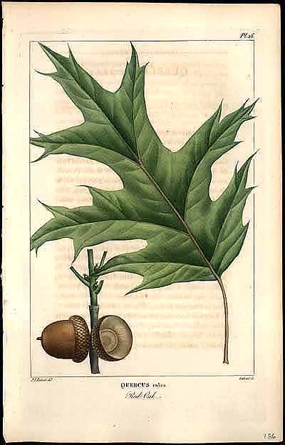 Pierre Joseph Redoute ; Plants and Gardens Portrayed: Rare and Illustrated Books from The LuEsther T
