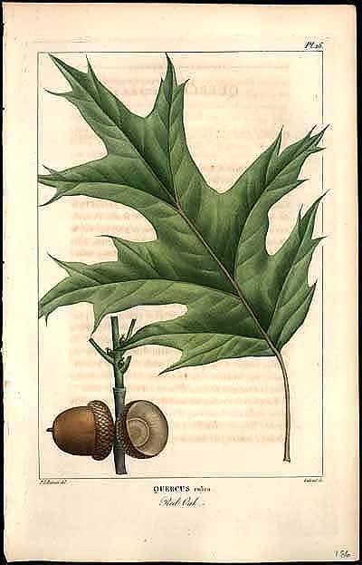 Black Oak Botanical Print