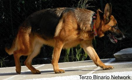 BRINZIO (VARESE): SMARRITA SIRIA, CANE PASTORE TEDESCO NERO FOCATO http://www.terzobinarionetwork.com/2015/08/brinzio-varese-smarrita-siria-cane.html
