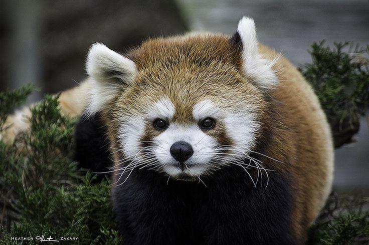 Red Panda - Toronto Zoo