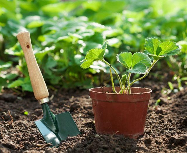 Kerti munka augusztusban - A pünkösdi rózsa nagyon jól elboldogul a kert egyetlen helyén