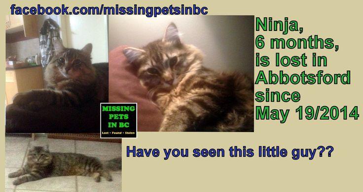 NINJA 6 MONTH BLACK GREY TABBY KITTEN lost ABBOTSFORD Marshall Rd Mckenzie Rd  MAY 19 2014