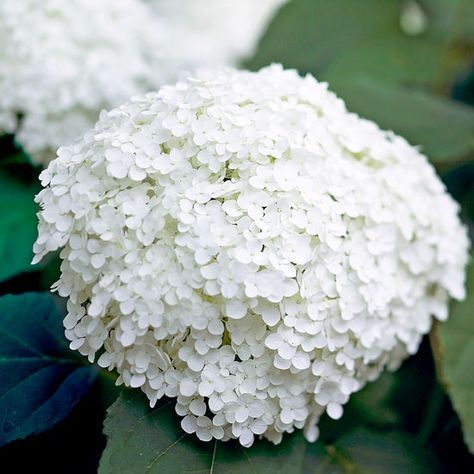 Annabelle Hydrangea: Annabelle hydrangea is one of the easiest types of white flowers to grow. It blooms in midsummer producing large, pure white clusters that are perfect for cutting. Plant Name: Hydrangea arborescens 'Annabelle'. Growing Conditions: Part shade and moist, well-drained soil. Size: To 5 feet tall and wide. Zones: 3-9. Plant it with: 'Annabelle' is a perfect partner for bigleaf hydrangeas or oakleaf hydrangeas.