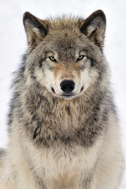 Mixers Mixers Vicking Vs Wolf ~ Best images about wolves magnificent beast on