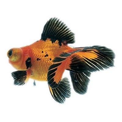 Japanese fish king yo goldfish japanese design for Japanische zierfische
