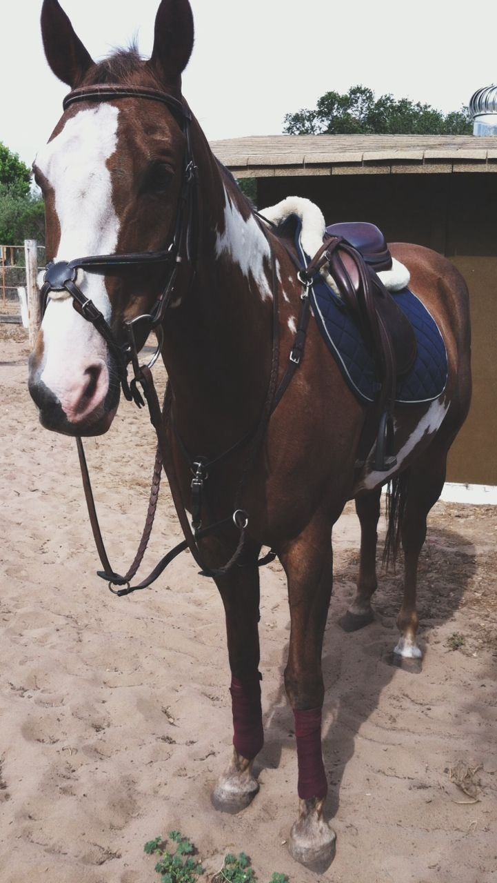 Hoof prints in my Heart   fearlessequitation:   Adorkable ;) ready for his...