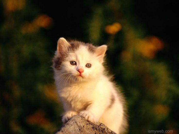 Cute Cat Desktop Wallpaper Download 12 Kittens Cutest Baby Cats Kitten Wallpaper