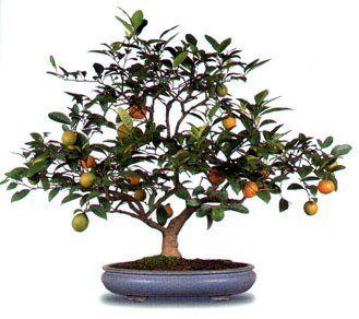 bonsay de arboles frutales - AOL Image Search Results
