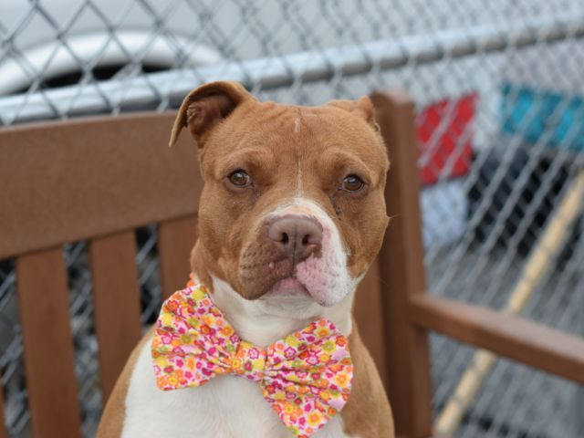 SUPER URGENT Brooklyn Center ROSE aka EMILY – A0933701 **RETURNED 5/12/16** FEMALE, BROWN / WHITE, AM PIT BULL TER MIX, 4 yrs OWNER SUR – ONHOLDHERE, HOLD FOR ID Reason MOVE2PRIVA Intake condition UNSPECIFIE Intake Date 05/12/2016, From NY 11212, DueOut Date 05/12/2016,