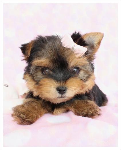 Beautiful Yorkie Puppy :)