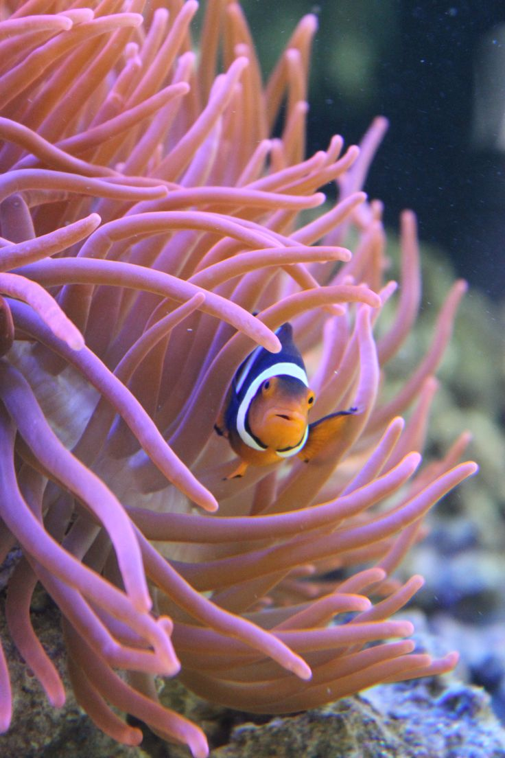#clownfisch #Anemonefisch #Anemone   http://www.aquariumwest.de  #Meerwasser-Aquarium  #Aquariumbau #Aquarium München #Aquarienwartung