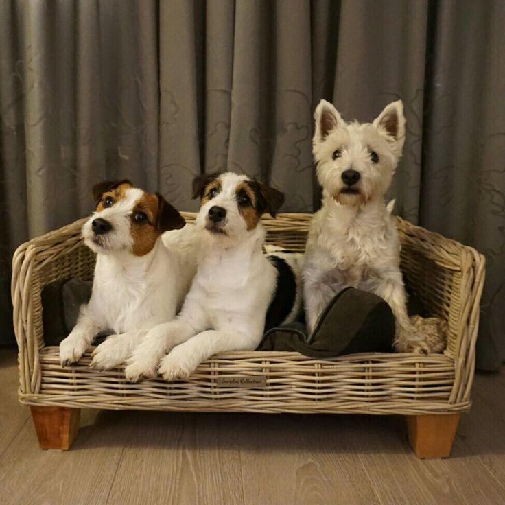 3 friends Lucky, Gijs and Pim. #Gijsmans #GijsenPim #Westie