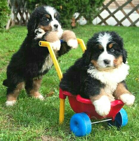 Too cute! Berner puppies