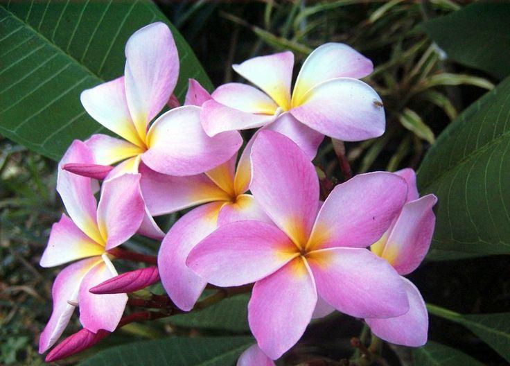 Frangipanier Plumeria, pink