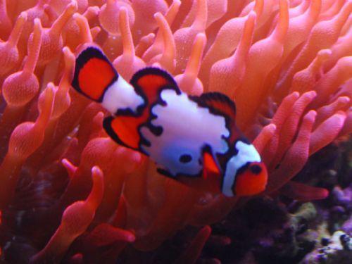 Clownfish Care, Size, Life Span, Tank Mates, Breeding