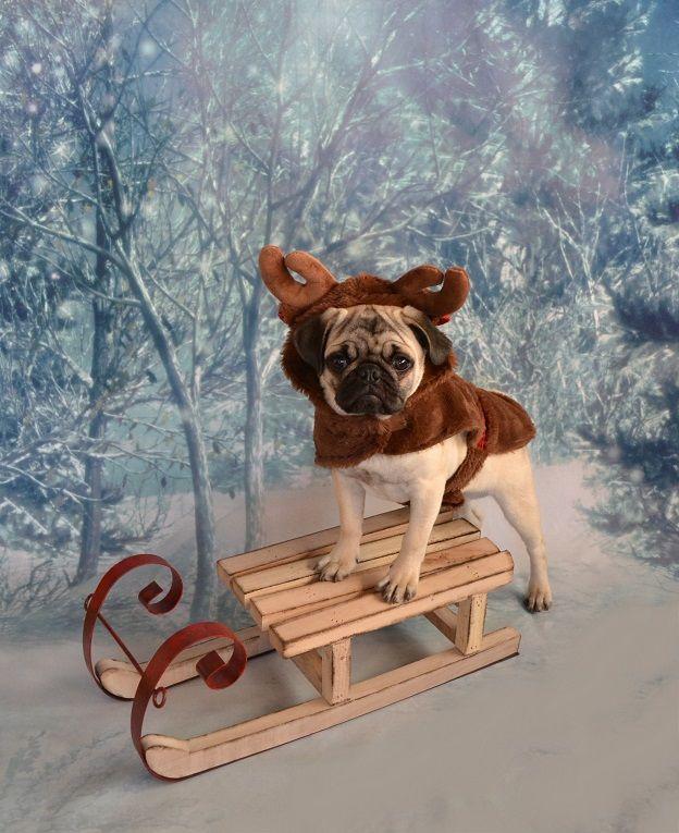Boo The Reindeer Pug #pug #christmas #reindeer