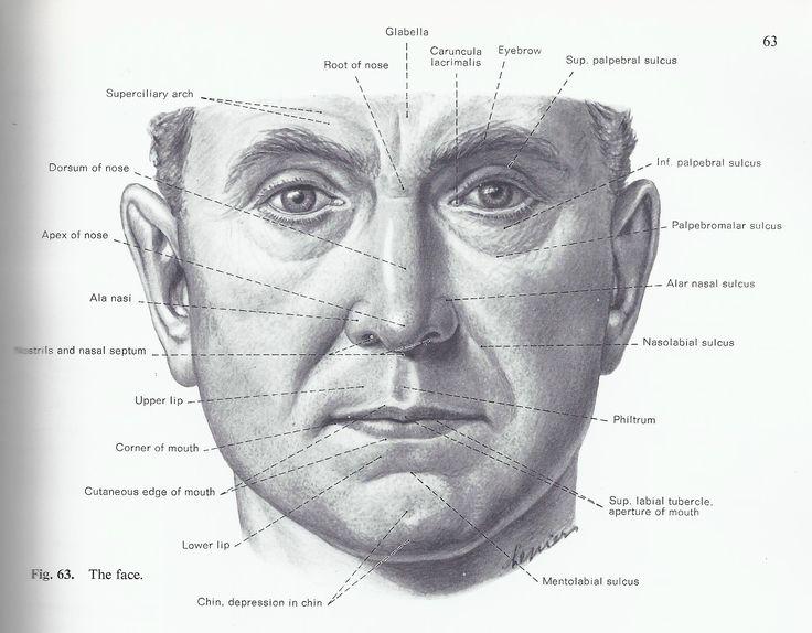 Facial surface landmarks | Gesicht anatomie, Anatomie ...