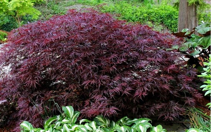 Red Dragon Dwarf Japanese Maple is an outstanding, sun-tolerant, dwarf Japanese Maple with a mounding form and weeping branches covered in lacey, ribbon-like deep purplish- red leaves that hold their color better than any other Acer dissectums we've grown.