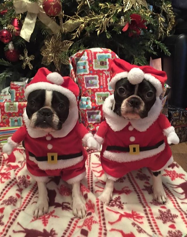 Grumpy Dogs Dressed Up for Christmas.