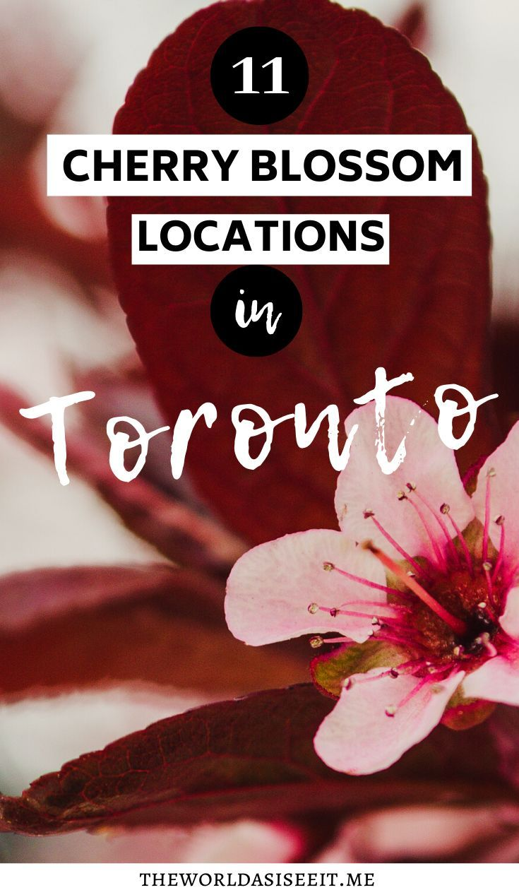 Where To Find Cherry Blossoms In Toronto The World As I See It Canada Travel Canada Travel Guide Ontario Travel