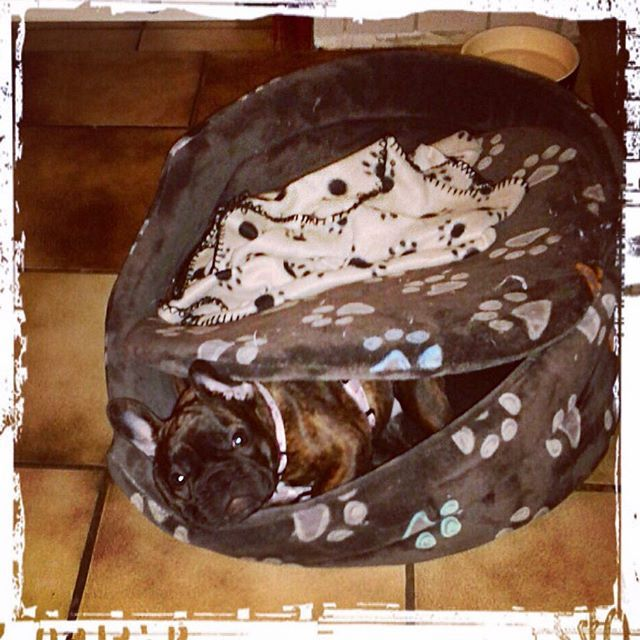 Instagram media jennifer_doernen - Can you see me? #millie #frenchbulldog #frenchbulldogs #frenchbully #frenchbullys #frenchie #frenchies #frenchielove_feature #frenchielove #thefrenchiepost #frenchieoftheday #instafrenchie #puppy#puppylove #love #dogstagram #adorable #bullylife