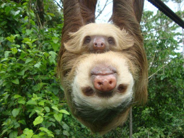 Sloths are so slow that algae grows on their fur! - photo by Tirimbina Rainforest Center