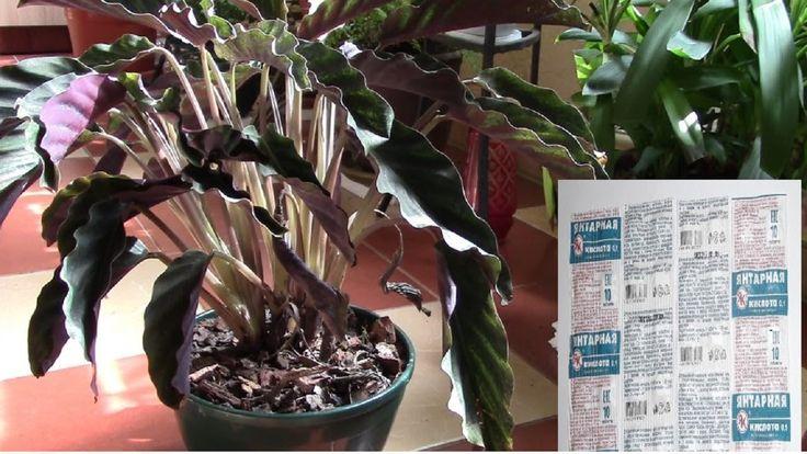 Янтарная кислота и ослабленные растения.  Начинаю эксперимент с ослаблен...