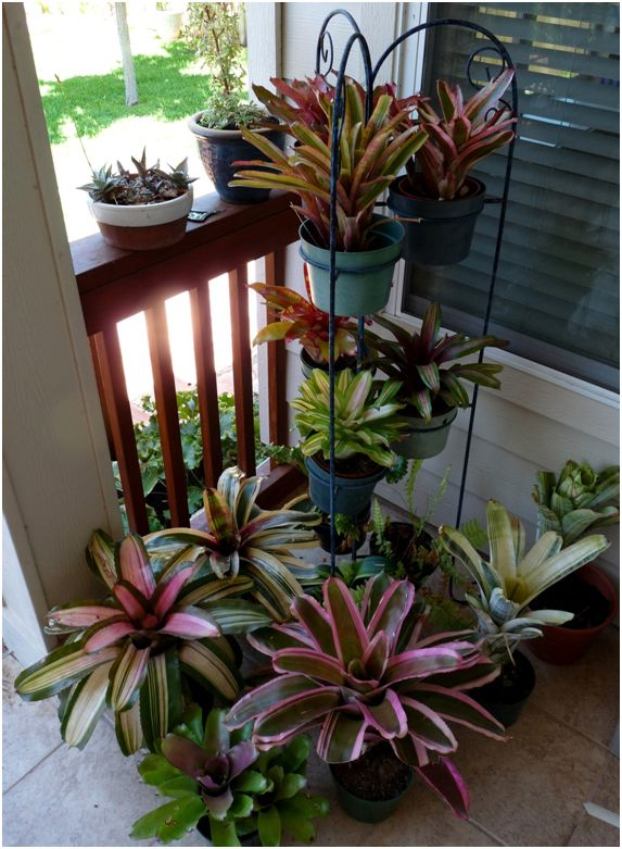 I have a ton of these growing in my side yard. Might as well pot a few for the patio. Google Image Result for http://www.zilkergarden.org/images/gardentips/bromeliads.jpg