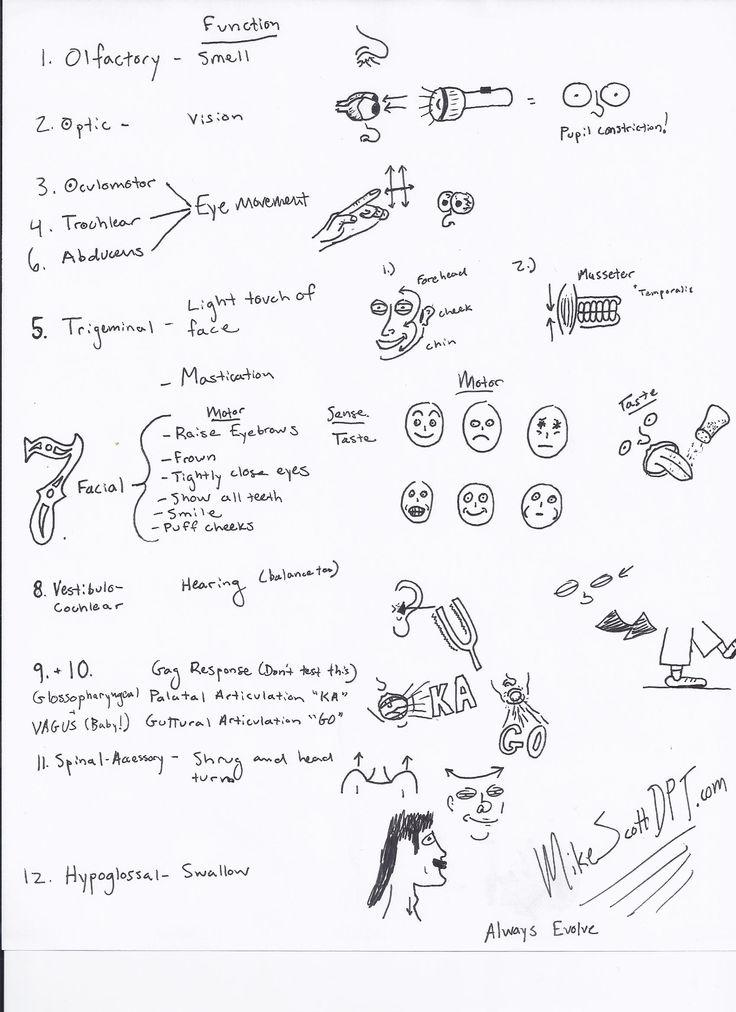 17 best ideas about cranial nerve 2 on pinterest cranial nerve 1 cranial nerve 8 and cranial. Black Bedroom Furniture Sets. Home Design Ideas