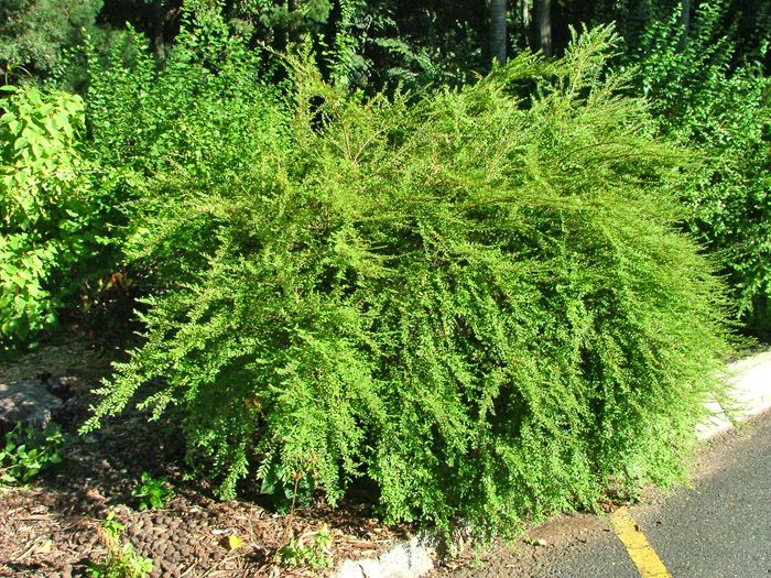 Phyllanthus multiflora ( Water Fall Plant ) «  Orams Nurseries Rockhampton | Wholesale and Retail Nurserymen