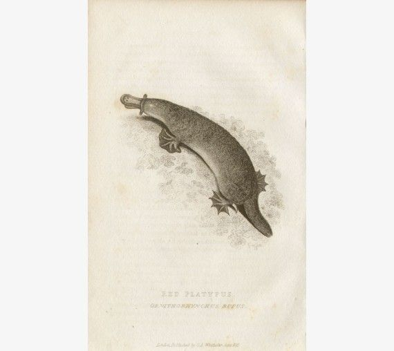 Red Platypus engraving Edward Griffith 1827