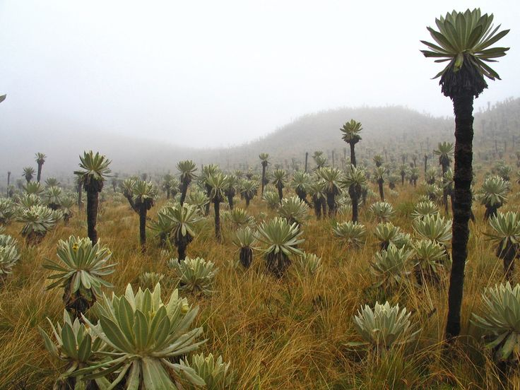 Páramo El Ángel, Ecuador. Montane meadows with weird plants, which rise up to 10 m tall. These plants - frailejones - grow only on some summits of Ande mountains.