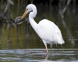 Image result for white crane bird