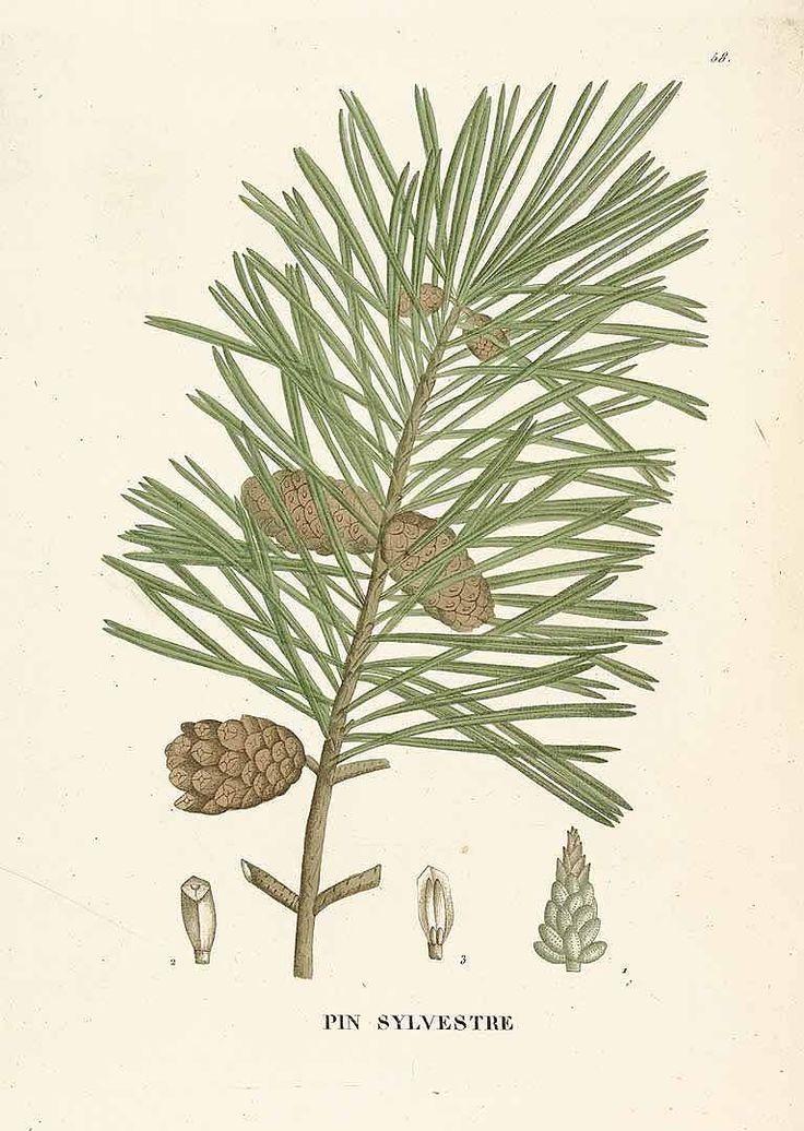 スコッチ・パイン Scotch pine Pinus sylvestris L. Saint-Hilaire (1824)