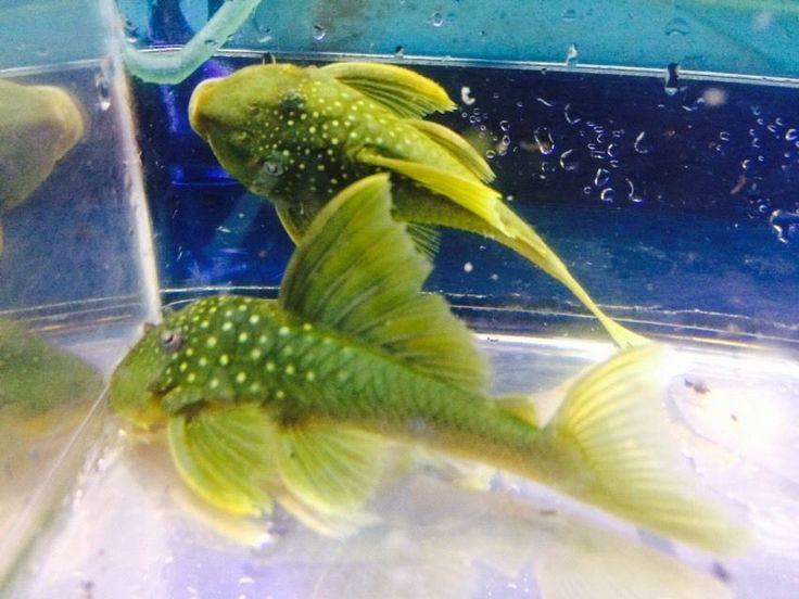 Green Phantom Pleco Live Freshwater Fish | eBay
